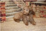 Picture of DISCOUNTED Cappuccino Chocolate Male CKC Malshipoo