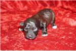 Picture of Jake Smallest Maltipoo Of His Litter