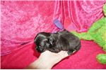 Picture of Peanut Tiniest Male Of His Miki Litter!