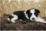 Picture of Lilo Sweet CKC Female Miki
