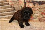 Picture of Chestnut Male CKC Morkipoo Such A Sweetie
