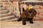 Picture of Nutmeg Dark Chocolate Female Morkipoo
