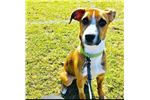 Picture of Charley Female Adult Mountain Cur Rehome $100