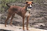 Picture of Charley Female Mountain Cur Looking For Home