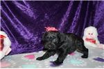 Picture of Ziva Gorgeous Black Female CKC Schnoodle