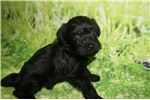 Picture of Maggie Sweetest Black Female Schnoodle in Town!