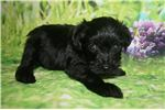 Picture of Mac Adorable Male CKC Schnoodle