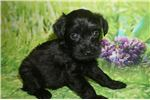 Picture of Micah Sweet Black Male CKC Schnoodle!