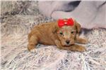 Picture of TeeHee Gorgeous Red Chocolate Female Schnoodle