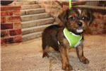 Picture of DISCOUNTED Kona Male CKC Shorkie A True Prince!