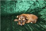 Picture of Mazie Gorgeous Female Shorkie