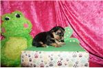 Picture of HAS DEPOSIT! Sparky Male Shorkie
