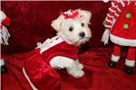 Picture of Indiana Your Christmas Dream Female Snorkie Pup