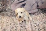Picture of Mickey Sweetest Male Yorkipoo