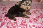 Picture of Teddy Bear Male Havashire a/k/a Yorkinese