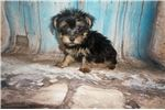 Picture of JUST DISCOUNTED! Sugar Bear Small Male Yorkinese
