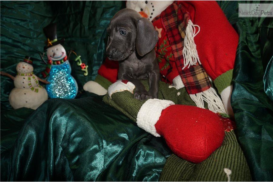 Jingle Bells: Weimaraner puppy for sale near Jacksonville