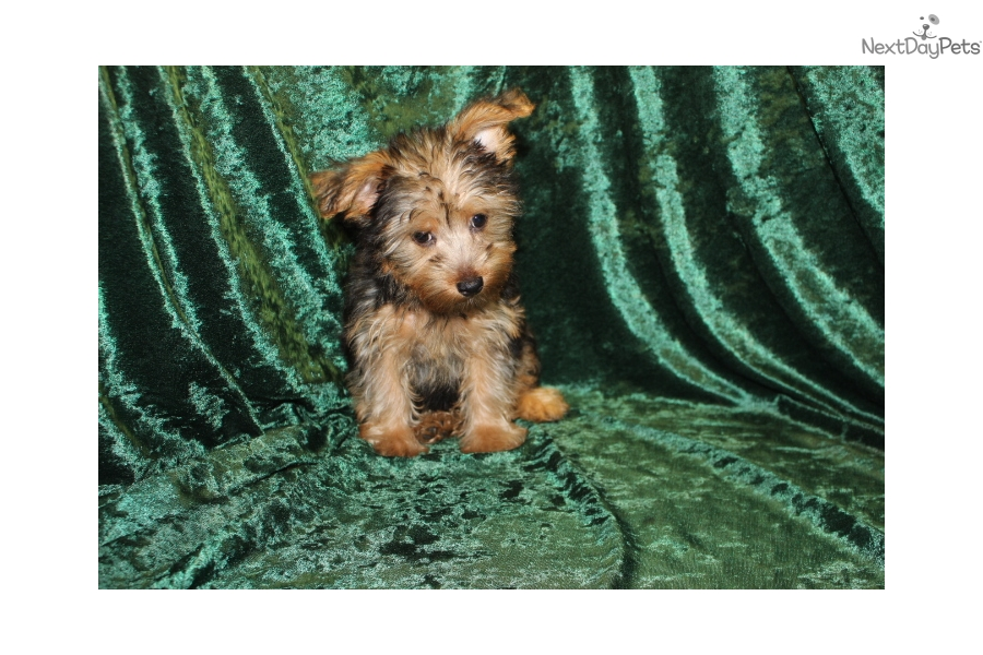 Twix Yorkshire Terrier Yorkie Puppy For Sale Near Jacksonville