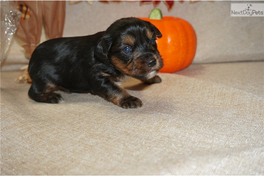 Scooby Doo Yorkshire Terrier Yorkie Puppy For Sale Near