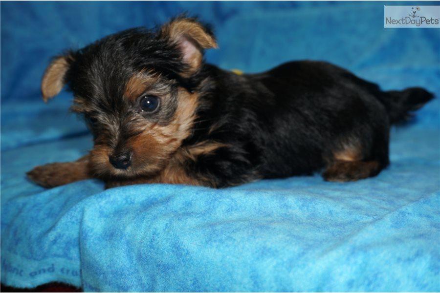 Luigi: Yorkshire Terrier - Yorkie puppy for sale near ...