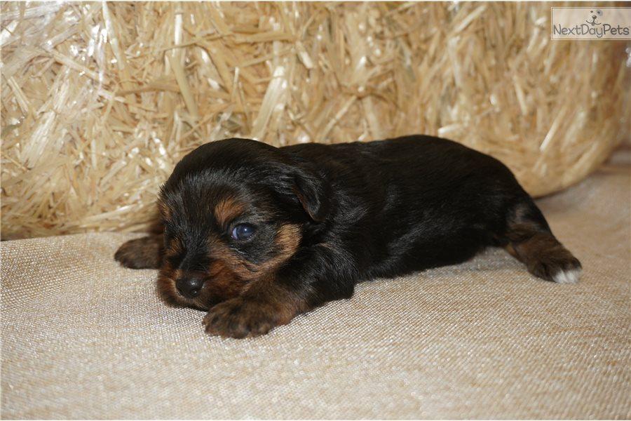 Jughead Yorkshire Terrier Yorkie Puppy For Sale Near Jacksonville