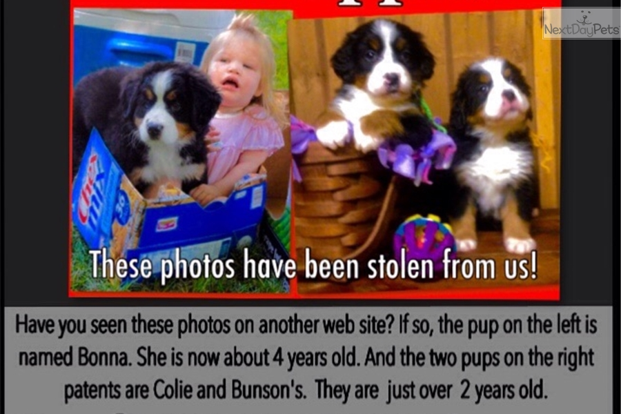 Stolen Photos: Bernese Mountain Dog puppy for sale near Binghamton