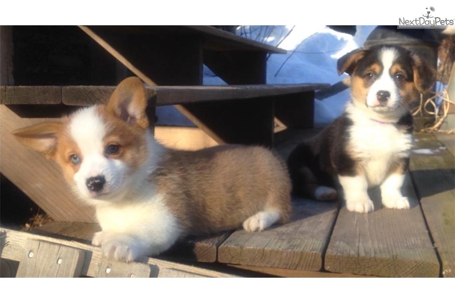 Upstate Ny Corgi Corgi Puppy For Sale Near Binghamton
