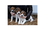 Picture of an American Foxhound Puppy