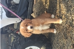 Picture of Nova Scotia Duck Tolling Retriever!