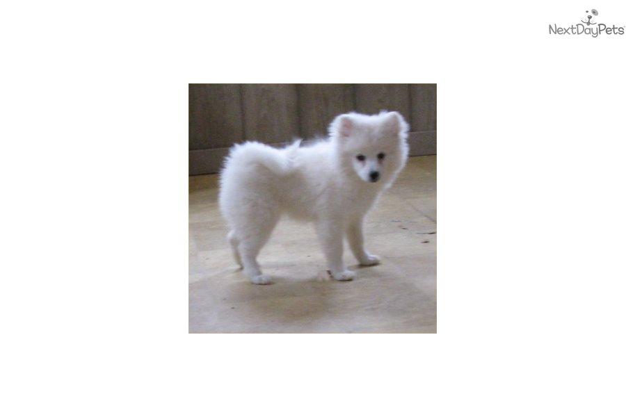 Princess: American Eskimo Dog puppy for sale near St Cloud