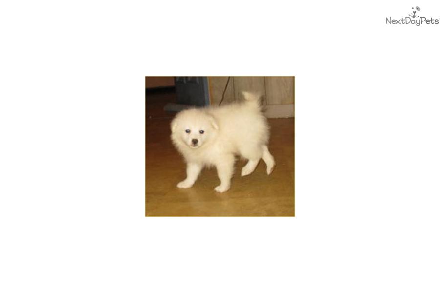 Mickey: American Eskimo Dog puppy for sale near St Cloud