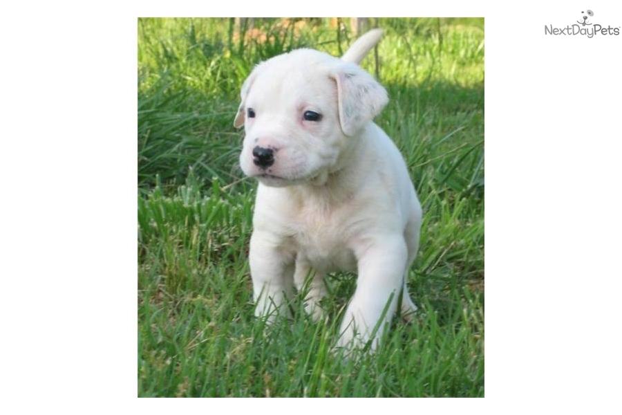 American Bulldog For Sale For 500 Near Charlotte North
