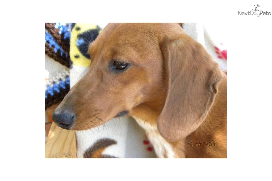 Are Adult dachshunds groundhounds mini not our sale
