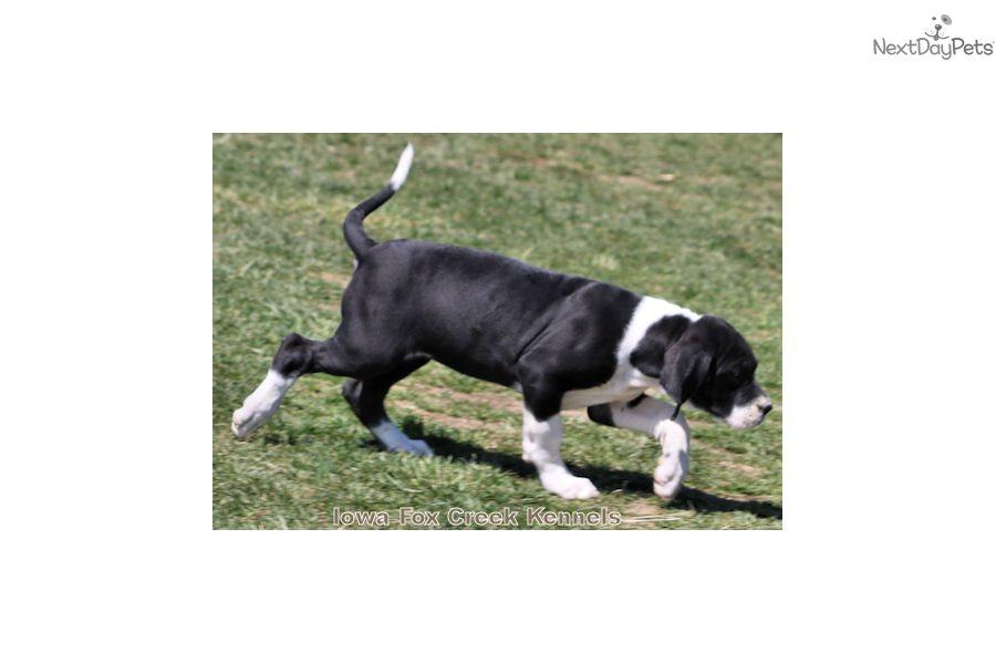 Kenya: Great Dane puppy for sale near Embu Kenya