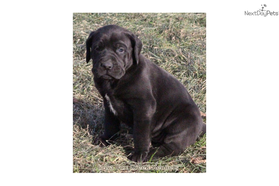 Sheba Mastiff Puppy For Sale Near Des Moines Iowa A4dd6c4f 6d21