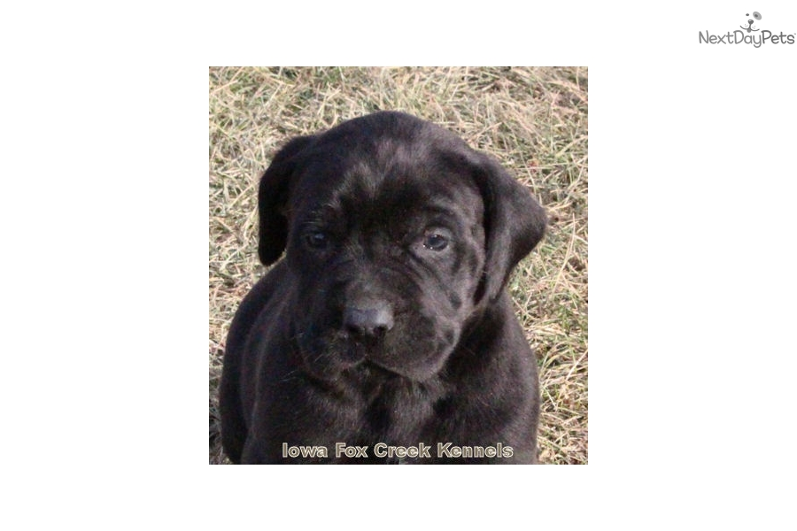 Shadow Mixedother Puppy For Sale Near Des Moines Iowa 9fb6b208 16b1