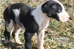 Picture of Zach - Big AKC Harlequin Male Great Dane Puppy
