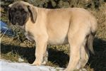 Picture of Samson - Huge AKC Fawn Male English Mastiff Puppy