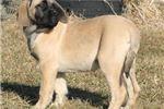 Picture of Sahara - Big AKC Fawn Female English Mastiff Puppy