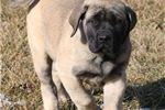 Picture of Scrappy-Big AKC Fawn Male English Mastiff Puppy