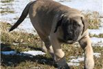 Picture of Sarge - Big AKC Fawn Male English Mastiff Puppy