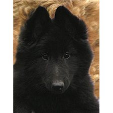 View full profile for Mi-Kel's Belgian Sheepdogs