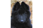 Picture of Adorable Male Belgian Sheepdog puppy