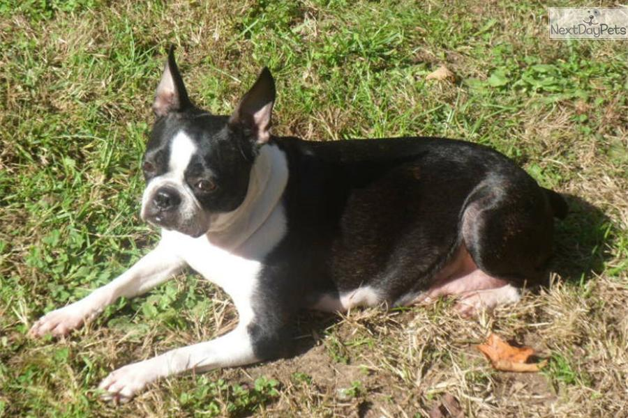 Boston terrier puppies for sale in knoxville tn