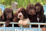 Picture of Sweet Chocolate Face! Quality F1b Labradoodle