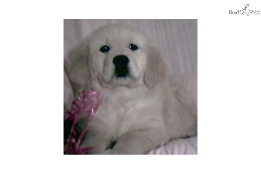 Gracie English Golden Retriever Puppy For Sale Near Provo Orem