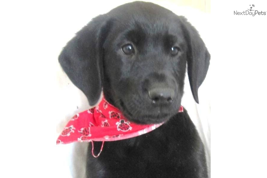 Meet Ryker A Cute Labrador Retriever Puppy For Sale For
