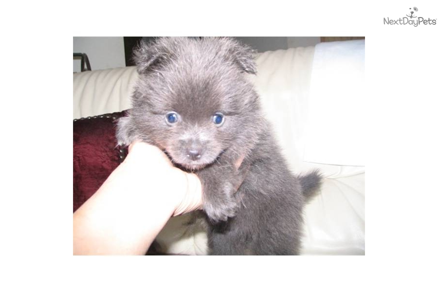 Pomeranian puppies for sale in odessa tx