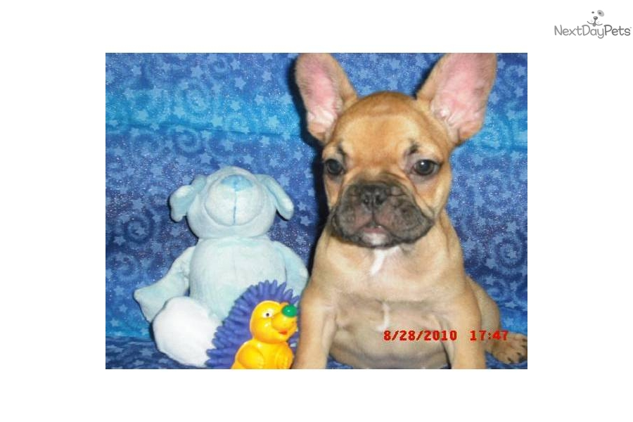 french bulldog mississippi french bulldog for sale for 1 800 near jackson 9860