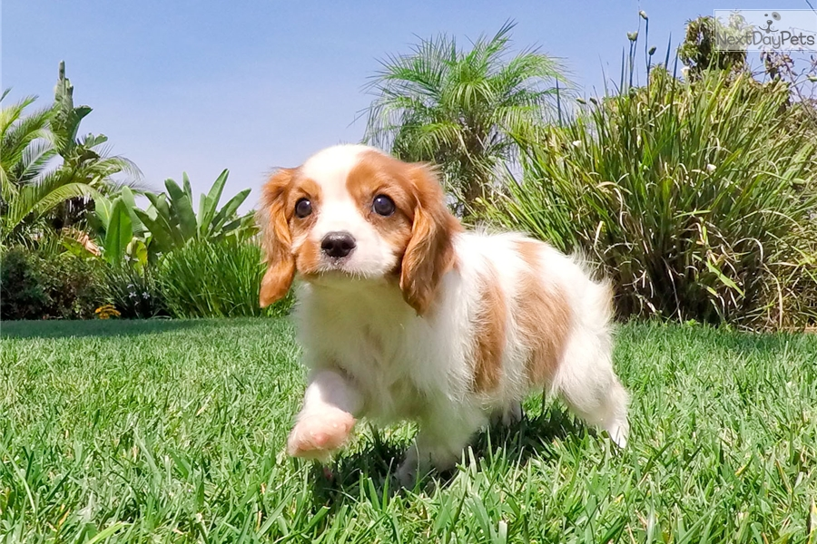4 6 Year Male Cavalier King Charles Spaniel: Cavalier King Charles Spaniel Puppy For Sale Near San